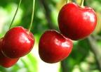 Miért együnk sok cseresznyét?