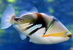 Hallottál már a Humuhumunukunukuapua'a nevű halról?