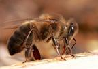 Az északi méh