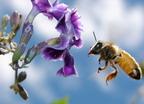 Virághűség a rovarvilágban