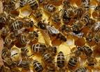 A krajnai méh