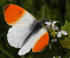 Hajnalpírlepke (Anthocharis cardamines)