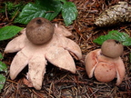 Rőt csillaggomba (Geastrum rufescens)