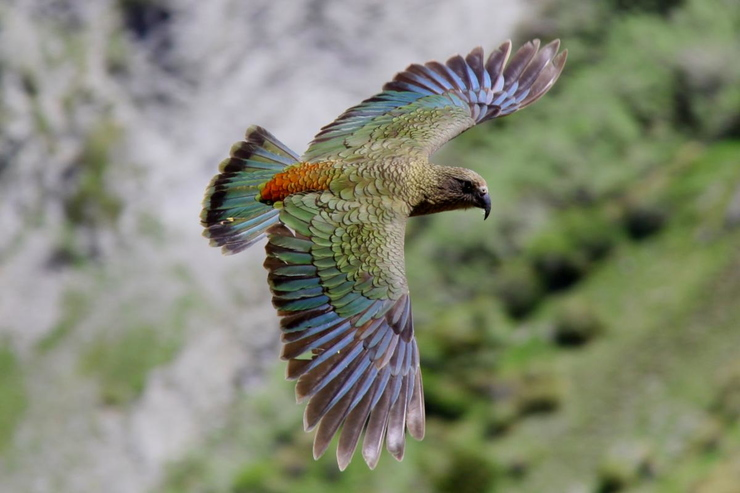 kea NZ Birds Online .org.nz.JPG