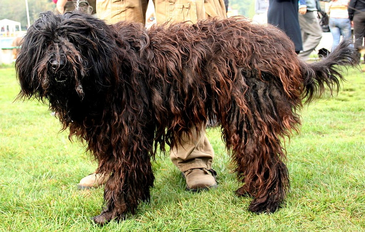 Bergamasco Pleple2000.jpg