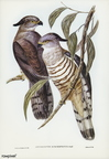 Crested Hawk (Lepidogenys subcristatus) illustrated by Elizabeth Gould