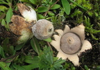 Apró csillaggomba (Geastrum minimum)