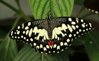 Citruspillangó (Papilio demoleus)
